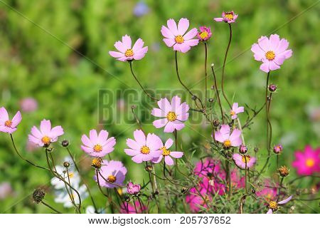 Pink flowers of garden cosmos plant (Cosmos bipinnatus) on flowerbed