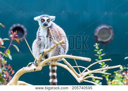Ring-tailed lemur aka Lemur catta sitting on the tree
