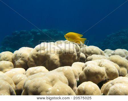 Gelbe Fische am Korallenriff
