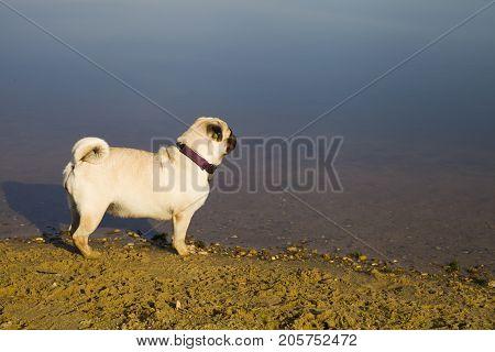 Dog pug walks on the sandy beach near the lake.