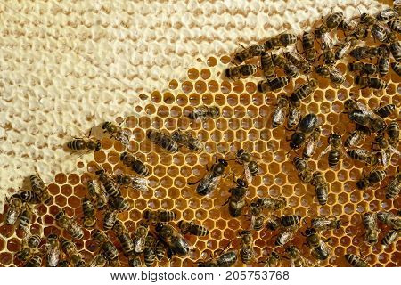 Closeup view of the working bees on honeycomb. Honey cells and working bees. Honeycomb with bees background