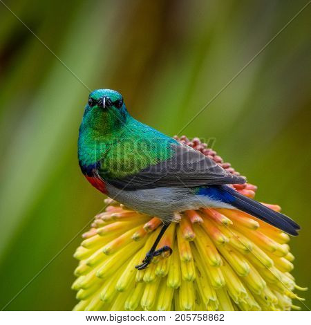 Southern Double-collared Sunbird at Kirstenbosch Botanical Gardens, Cape Town, South Africa poster