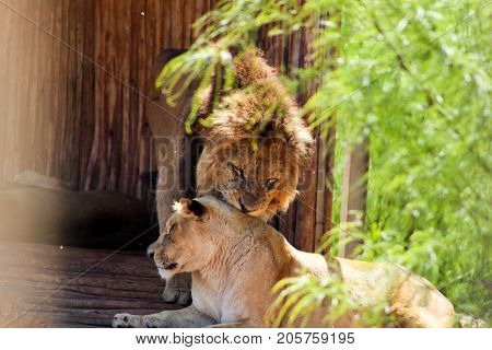 Lion and lioness romance in the zoo
