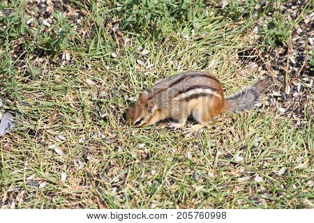 Eastern Chipmunk  (Tamius striatus) in the grass looking for seeds.