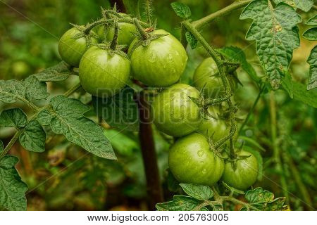 Green tomatoes on a bush in the garden