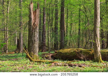 Big old oak broken in springtime deciduous stand, Bialowieza Forest, Poland, Europe