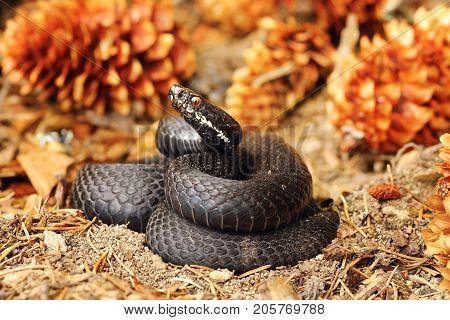 black common viper on forest ground defensive position ready to strike ( Vipera berus female )