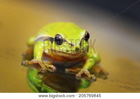 closeup of cute european green tree frog ( Hyla arborea )