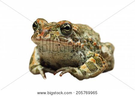 cute european green toad isolated on white background ( Bufotes viridis )