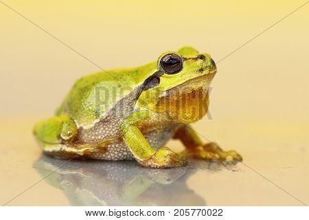 cute small green frog ( Hyla arborea )