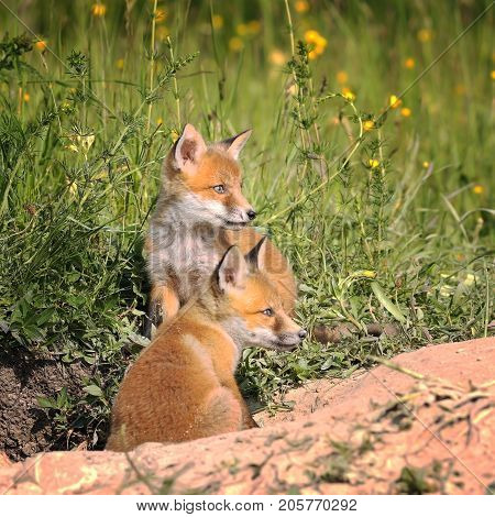 fox cubs near the burrow in spring ( Vulpes )