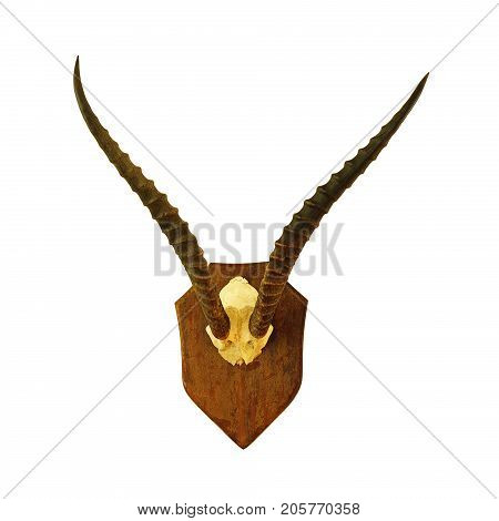 hartebeest hunting trophy isolated over white background ( Alcelaphus buselaphus )
