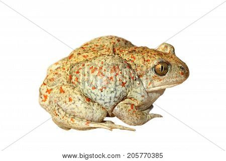 colorful garlic toad isolated over white background for your design ( Pelobates fuscus )