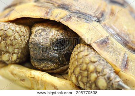 portrait of Testudo graeca the spur thighed turtoise