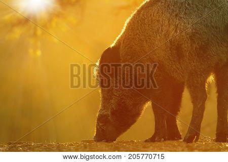 closeup of wild boar foraging for food at dawn beautiful orange light ( Sus scrofa )