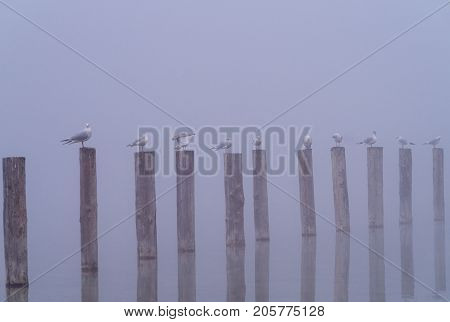 View on a group of Seabirds in a row on wooden posts in the Fog. Close-up of perching Seagulls on wooden posts on a misty morning at the Lake. Gulls at the Lake. Nature and Wildlife Background.