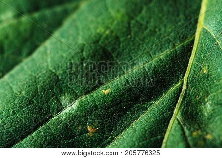 Part of a saturated green leaf of a tree close-up. The photo shows veins and textures.