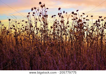 Rural field with overgrown dried up plants caused from a drought taken during sunset