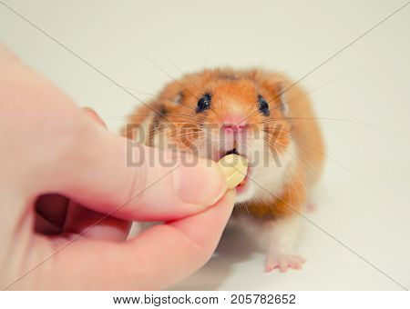 Funny greedy Syrian hamster taking a nut from a human hand selective focus on the hamster eyes (on a gray background) retro style