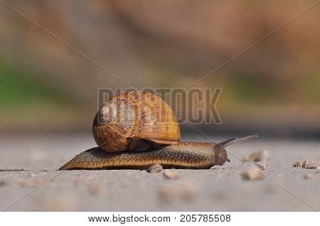 Snail crawling on the asphalt road. Burgundy snail, Helix, Roman snail, edible snail or escargot crawling