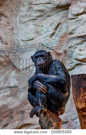 Chimpanzee or Pan troglodytes sits on a log in captivity