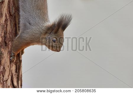 Eastern Gray Squirrel (Sciurus carolinensis) climb down the trunk of a pine tree searching for food. Wildlife autumn background with place for your text