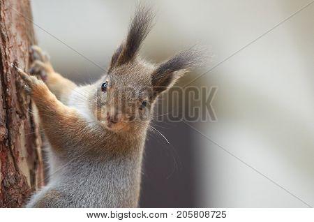 Eastern Gray Squirrel (Sciurus carolinensis) climbing up the trunk of a pine tree. Wildlife autumn background