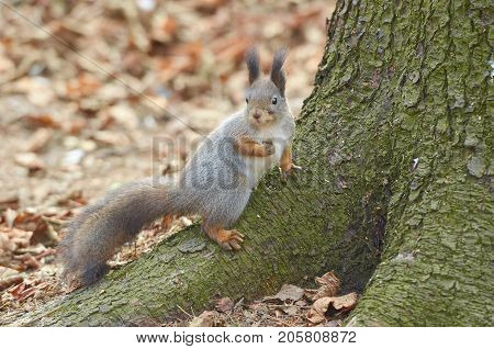 Eastern Grey Squirrel (Sciruus carolinensis) on green mossy body tree. Natural autumn background