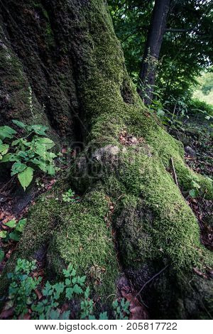 lower part of huge old beech tree  overgrown with moss in Nature Reserve rainforest Vinatovaca in Serbia, East Europe