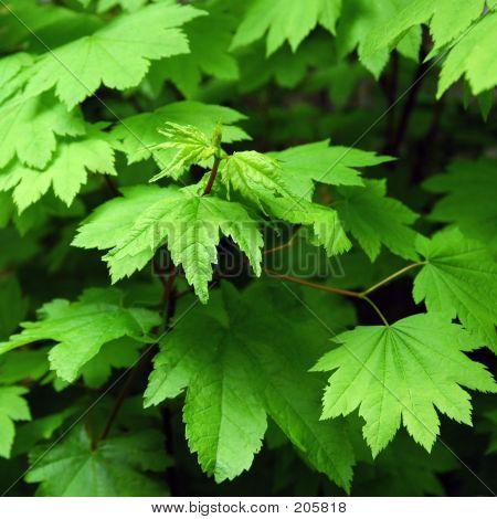 Grüne Ahorn Blätter