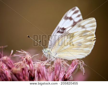 a pretty cabbage butterfly sipping nectar from pink flowers