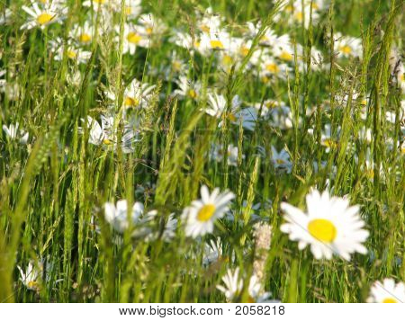 Green Fields, Flowered By Daisies