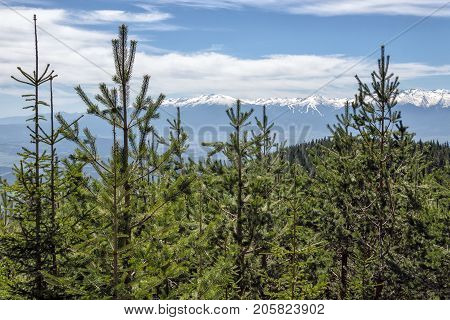 Treetops of evergreen pine trees against blue sky and snow covered mountain peaks in background