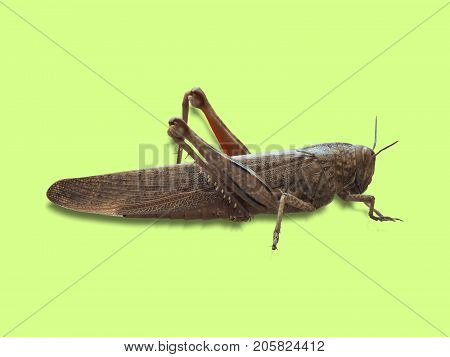 Grasshopper Insect Animal Over Green
