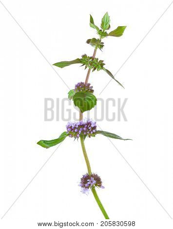 Close-up of Mentha arvensis (field mint or wild mint) stem isolated on white background.  Selective focus.