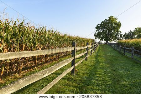 Large Tree and Corn Field with Split Rail Fence