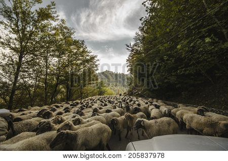 Tilted View Of Sheared Sheep On Rural Road With A Car Trying To Pass. One Sheep Is Looking At The Ca