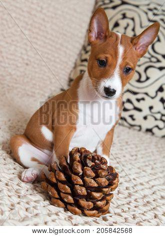 Small Red Basenji Dog Puppy With Big Cedar Cone