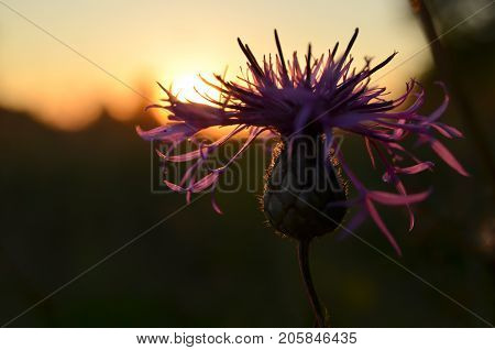 Thistle at sunset in the field. Close-up