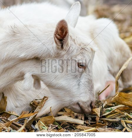 White Goat At The Village In A Cornfield, Goat On Autumn Grass. Ranch Or Farm