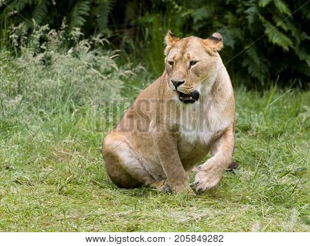Natural behavior of young female African lioness