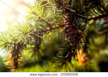 Douglas fir tree branch with cones on autumn. Closeup.