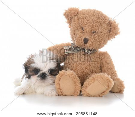 shih tzu puppy with the arm of a teddy bear around him