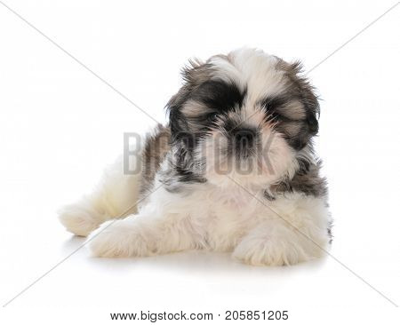 cute male shih tzu puppy laying down on white background