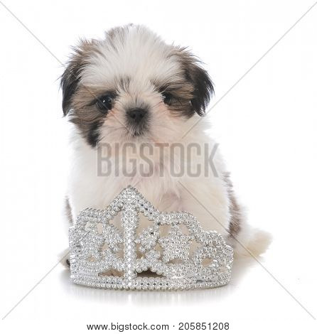 female shih tzu puppy sitting inside a tiara on white background