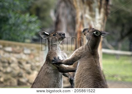 the male kangaroo are fighting to find out which is stronger