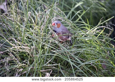 the zebra finch is hiding in the long grass