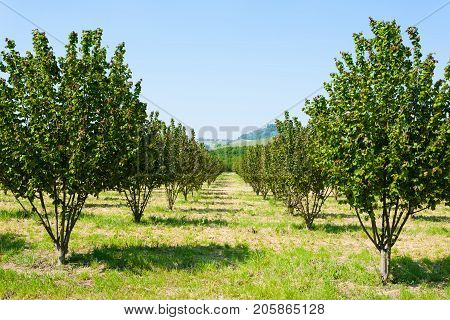 Hazel cultivation from Langhe region Italy. Italian agriculture. Unesco world heritage site.