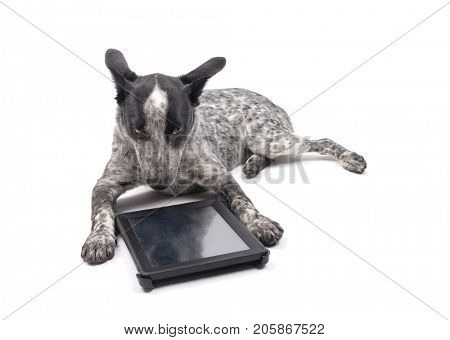 Texas Heeler dog lying in front of a computer tablet, with a dubious look on her face, on white