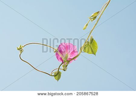 Pink Morning Glory flower hanging against pale blue sky, with the vine circling back to itself